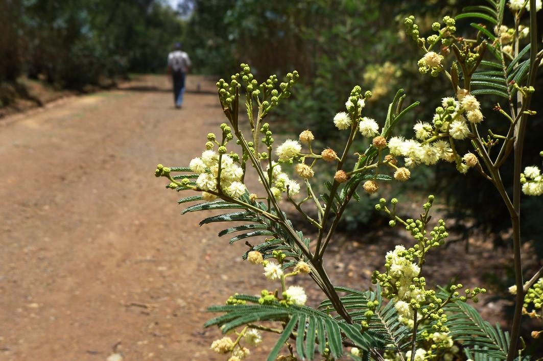 Mimosa tree, Entoto