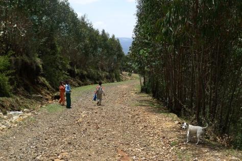 Eucalyptus trees, Entoto